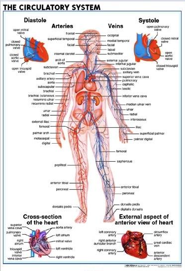 Eng_Circulatory_System2