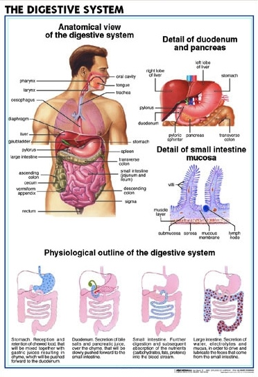 Eng_Digestive_System2