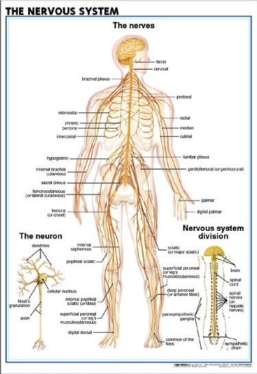 Eng_Nervous_System2