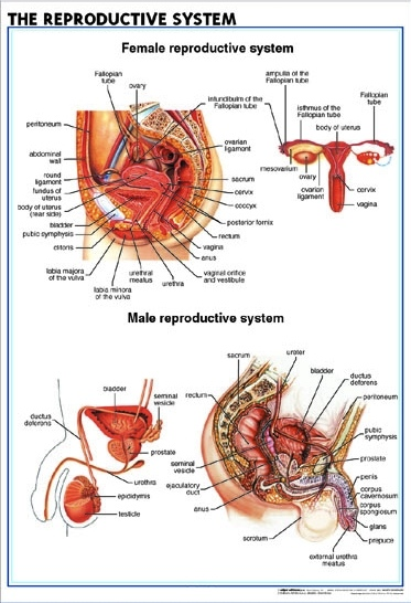 Eng_Reproductive_System2