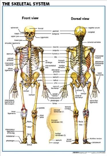 Eng_Skeletal_System2
